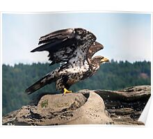 Bald Eagle Ready For Flight Poster