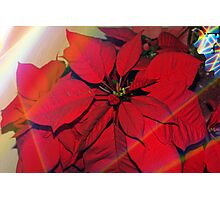 Poinsettias by stained glass windows Photographic Print