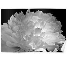 Lighted Peony Poster