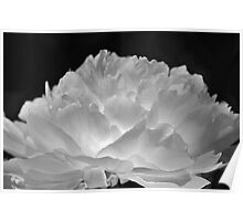 Lighted Peony no.2 Poster