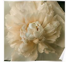 White Peony in Bloom Poster