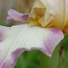 Bearded Iris by cshphotos