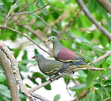 A Pair of Thick-billed Green Pigeons by nurulazila