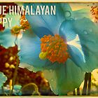 Blue Himalayan Poppy by jcahill