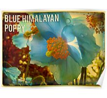 Blue Himalayan Poppy Poster