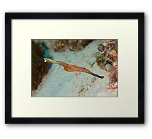 Robust Ghost Pipefish - Solenostomus cyanopterus Framed Print