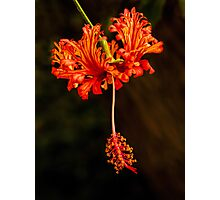 Frilly hibiscus Photographic Print