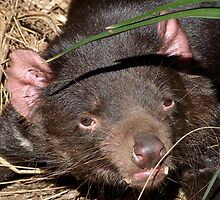 Tasmanian Devil Portrait by Margaret Saheed