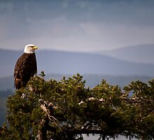 Mature Bald Eagle on Fir Tree by naturediver