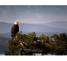 Mature Bald Eagle on Fir Tree Photographic Print