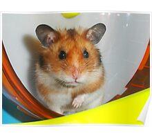 Syrian Hamster Barney Poster
