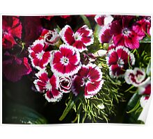 Oh you are Sweet William1 Poster