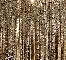 Tall Pines I by faczen