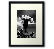 Marigold in black and white  Framed Print