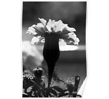 Marigold in black and white  Poster