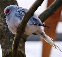 Diamond Dove by Andrew Pounder