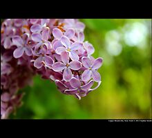 Syringa Vulgaris - Common Lilac - Upper Brookville, New York  by © Sophie W. Smith