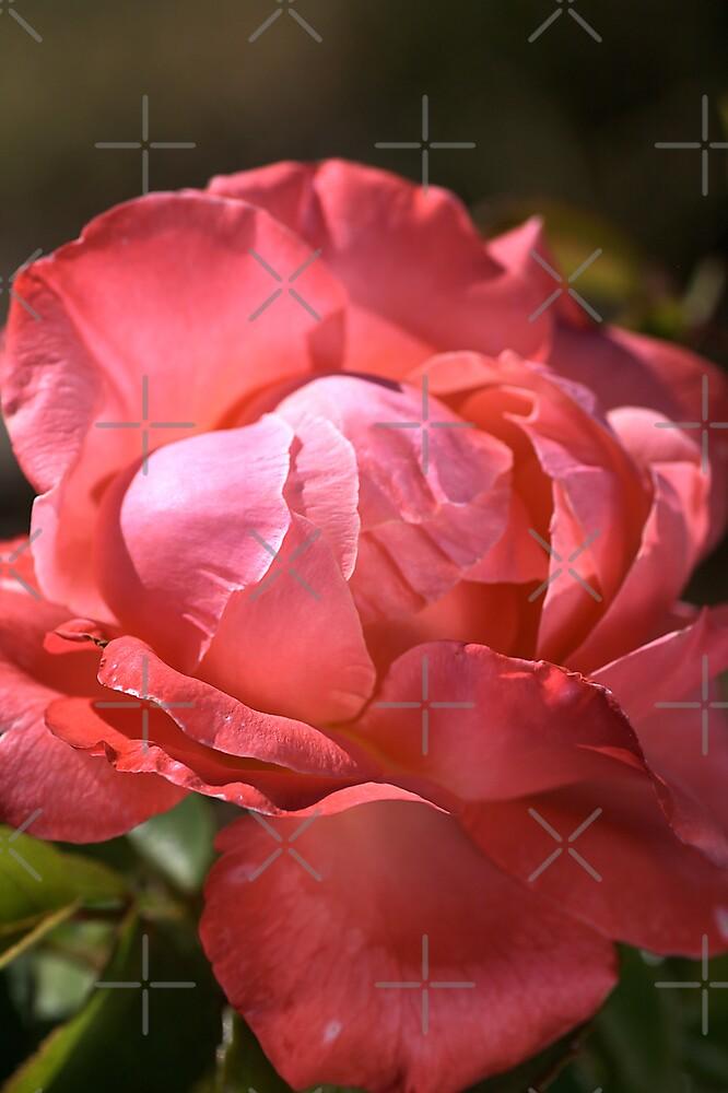 Light on Rose by Joy Watson