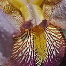 Wet iris macro yellow raindrops  by Jason Franklin