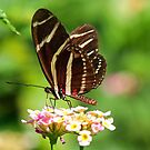 Zebra Longwing in profile by jozi1
