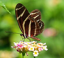 Zebra Longwing in profile by jozi1