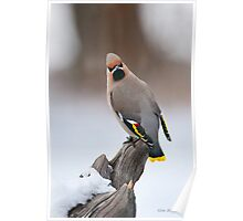 Bohemian Waxwing in Winter Poster