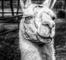 HDR B&W Llama by StudlyMuffin