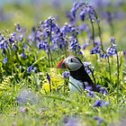 Puffin in Bluebells by mattcattell