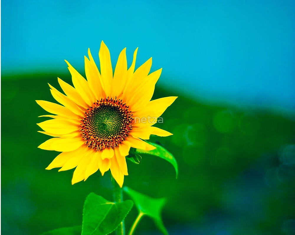 Close up of colorful Sunflower by netza