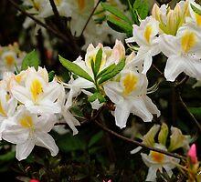 White azaleas by Loustalot