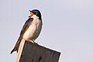 Tweeting Twee Swallow by Eivor Kuchta