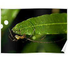 Male Mable Orchard Spider Poster