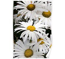 wild Irish daisies Poster