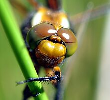 broad-Bodied Chaser by Russell Couch