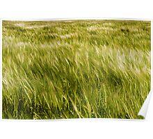 Light and dark patterns of barley Poster