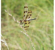 Dragon Fly... Photographic Print