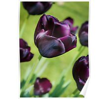 Queen of the Night Tulips Poster