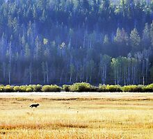 ~ A Grand Teton ~ Yellowstone Wolf on the Hunt ! ~ by Brion Marcum
