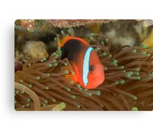 Black anemonefish - Amphiprion melanopus Canvas Print