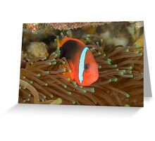Black anemonefish - Amphiprion melanopus Greeting Card