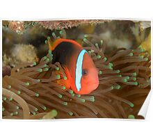 Black anemonefish - Amphiprion melanopus Poster