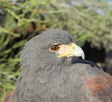 Harris Hawk by Ingasi