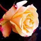 1565-beauty rose by elvira1