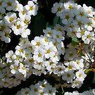 1575-white flowers by elvira1