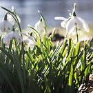 pbbyc - Snowdrops by pbbyc