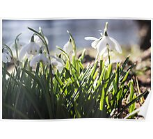 pbbyc - Snowdrops Poster