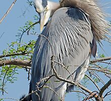 Mother and Her Young (Great Blue Heron) by Photography by TJ Baccari
