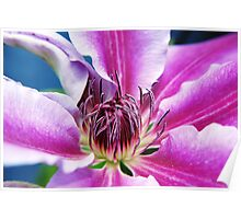 Nelly Moser - Clematis Poster