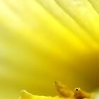 Daffodil centre by ScoobyMoo