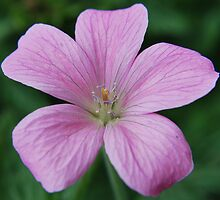 Pink geranium by ScoobyMoo